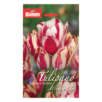 Tulipano semplice tardivo Flaming club