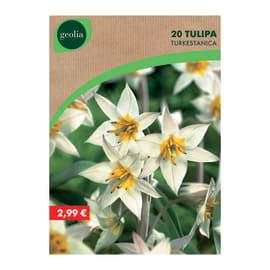 Bulbo fiore GEOLIA Tulipano 10 pezzi