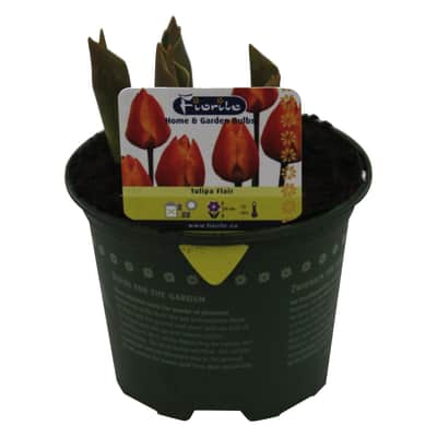 Bulbo con vaso Tulipano 9